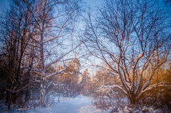 Sunset between the trees strains in winter forest Royalty Free Stock Photography