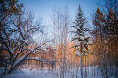 Sunset between the trees strains in winter forest Stock Image