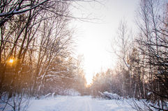 Sunset between the trees strains in winter forest Royalty Free Stock Image
