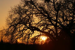 Sunset through the trees. This sunset was taken at Cameron Park through the Oak Tree and the sun was setting Royalty Free Stock Image