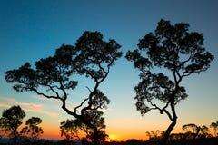 Sunset tropical tree savanna. Serrania de Chiquitania Bolivia. Silhouette of trees bright blue and orange skies royalty free stock photo