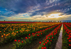 Sunset on the Tulip Farm. Dazzling display of colorful tulips at a farm in the Skagit Valley of Washington during a cloudy but still gorgeous sunset Royalty Free Stock Photos