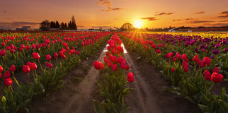 Sunset at Tulip Farm. Woodburn, OR USA - April 15th, 2017. Wooden Shoe Tulip festival is a very popular event in Oregon Stock Photo