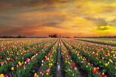 Sunset at Tulip Fields in Bloom. Sunset over colorful Tulip flower fields in full bloom during spring season tulip festival in Woodburn Oregon Royalty Free Stock Image