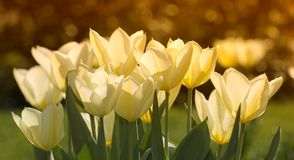 Sunset tulips Royalty Free Stock Photography