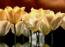 Sunset tulips (very detailed). White tulips in sunset (garden Stock Image