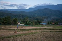 Sunset twilight of green rice field in Pua. The  northern of Thailand Stock Photos