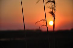 a sunset. Between the two strains of reed of the setting sun Stock Photo