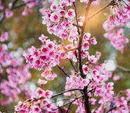 Sakura flower in garden. stock photography