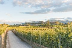Landscape view of pathway through apple orchards and vineyards in summer at sunset. Sunset view of the Kettle Valley Rail Trail through orchards and vineyards on Royalty Free Stock Photo
