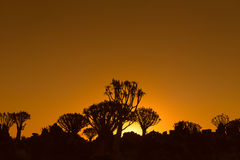 Sunset view of quiver tree forest at Garas Royalty Free Stock Photography