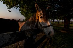 Thoroughbred Horse on Farm - Bluegrass - Central Kentucky. A sunset view of a thoroughbred horse on a farm at sunset in the Bluegrass region of central Kentucky Royalty Free Stock Image