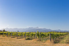 Sunset view of vineyard against the distant mountains Royalty Free Stock Image