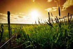 Sunset vineyard stock photos