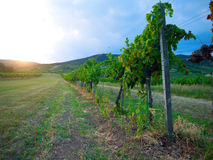 Sunset in a vineyard Royalty Free Stock Images