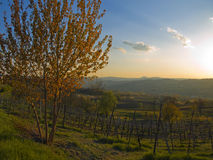 Sunset in the vineyard. Spring sunset in a beautiful italian vineyard Royalty Free Stock Image