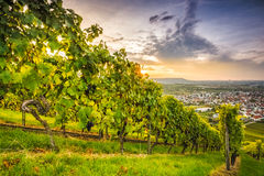Sunset in a vineyard with grapevines Stock Image