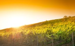 Vineyard in Hessen Germany stock images