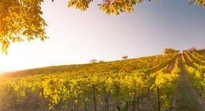 Vineyard in Hessen Germany royalty free stock photo