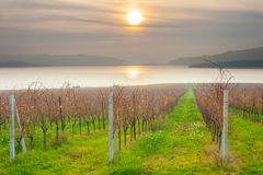 Sunset on the vineyard on the shores of the lake stock image