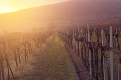 Sunset in vineyard Stock Images