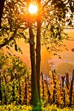 Sunset in vineyard through tree vertical view Royalty Free Stock Images