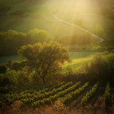 Sunset in a vineyard in Tuscany Italy Stock Photos