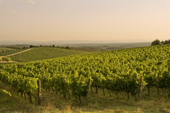 Sunset vineyard - Tuscany Royalty Free Stock Photos