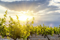 Sunset on vineyards. In France Royalty Free Stock Images