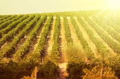 Sunset on vineyards Royalty Free Stock Photo