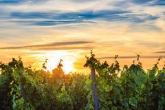 Sunset in the vineyards in Rheinhessen.  stock image