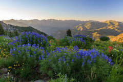 Sunset in the Wasatch Mountains with lupine wildflowers, Utah. Stock Images