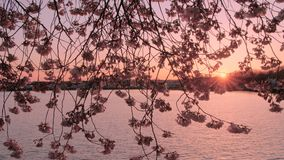 Sunset in Washington D.C. during cherry blossom. Sun setting at the pond in Washington D.C., blooming cherry trees in the foreground stock footage