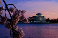 Sunset in Washington DC. Cherry blossom in tidal basin with Jefferson memorial royalty free stock image