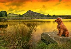 Sunset Watch. Golden Cocker Spaniel on lakeside rock as the sun sets with The Roman Wall in background in Northumberland England royalty free stock photos