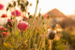 Sunset Weed Flowers Royalty Free Stock Photos