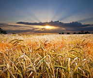 Sunset wheat. Beautiful golden wheat field with a spectacular sunset beyond Stock Image