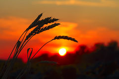 Sunset with wheat Stock Images