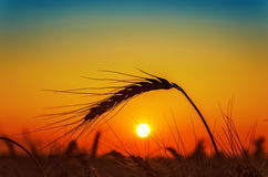 Sunset and wheat ear Royalty Free Stock Image