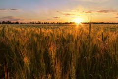 Free Sunset Wheat Field Stock Photos - 95291613