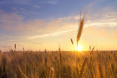 Free Sunset Wheat Field Stock Images - 96982004