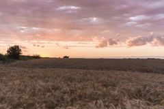 Sunset on the wheat field royalty free stock photography