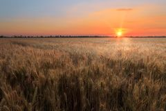Sunset wheat field Stock Photography