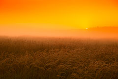 Sunset in the wheat field in August Royalty Free Stock Photo