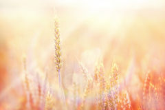 Sunset on wheat field Royalty Free Stock Images