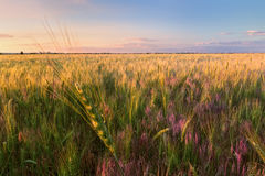 Sunset wheat field / Royalty Free Stock Photography