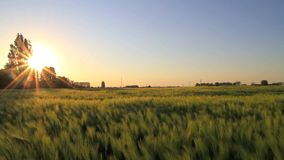 Sunset on a wheat field stock footage