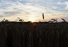 Sunset, wheat field, ears a sky Royalty Free Stock Images
