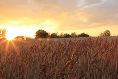 Sunset on the wheat field royalty free stock photos