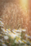 Sunset in wheat field, late afternoon in agricultural field Royalty Free Stock Photos